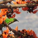 Image of Jerdon's Leafbird