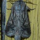 Image of Black-spotted Prominent
