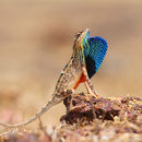 Image of Fan Throated Lizard
