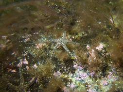 Image of little serpent-star