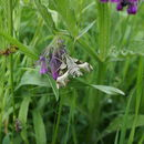 Image of Willowherb Hawkmoth