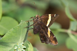 Image of Golden-banded Skipper