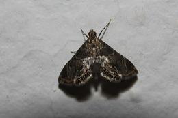 Image of <i>Usingeriessa brunnildalis</i> Dyar 1906