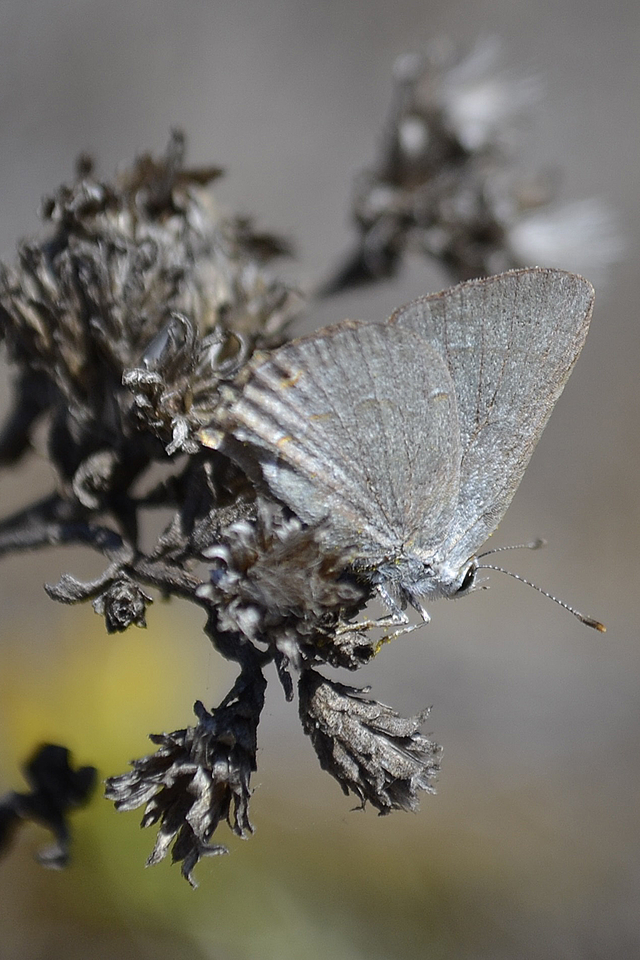 Image of Avalon Scrub-Hairstreak