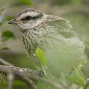 Image of Chalk-browed Mockingbird