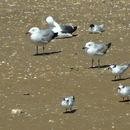 Image of Audouin's Gull