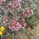 Image of <i>Chorizanthe fimbriata</i>