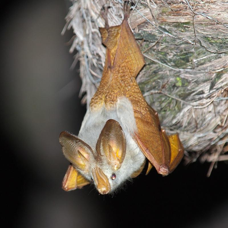 Image of Yellow-winged Bat