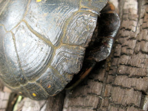 Image of Spotted turtle