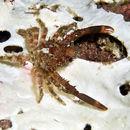 Image of Spider crab