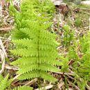 Image of <i>Thelypteris palustris pubescens</i>