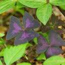 Image of <i>Oxalis triangularis</i>