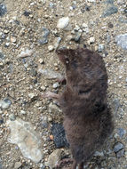 Image of Trowbridge's shrew