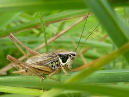 Image of <i>Metrioptera <i>roeselii</i></i> roeselii