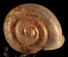 Image of smooth grass snail
