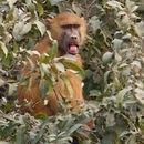 Image of Guinea Baboon