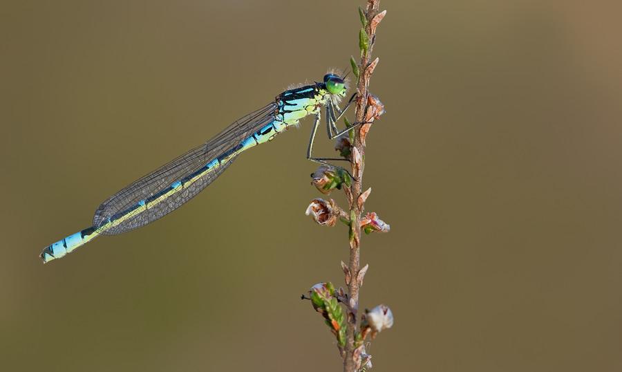 Image of Crescent Bluet