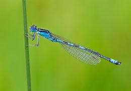 Image of Dainty Bluet