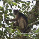 Image of Ashy Red Colobus