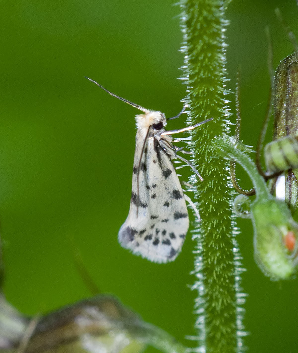 Image of <i>Greya punctiferella</i> Walsingham 1888