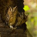 Image of Little Horned Owl
