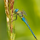 Image of Blue-eyed Hawker