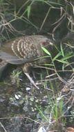 Image of Kalij Pheasant