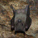 Image of Egyptian Fruit Bat