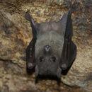 Image of Egyptian fruit bat