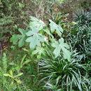 Image of <i>Vasconcellea pubescens</i>