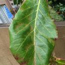 Image of <i>Terminalia catappa</i>