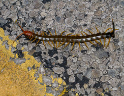 Image of Giant Redheaded Centipede