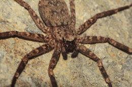 Image of <i>Selenops mexicanus</i> Keyserling 1880