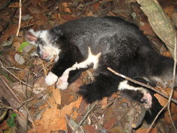 Image of Greater Glider
