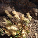 Image of <i>Lamarckia aurea</i>