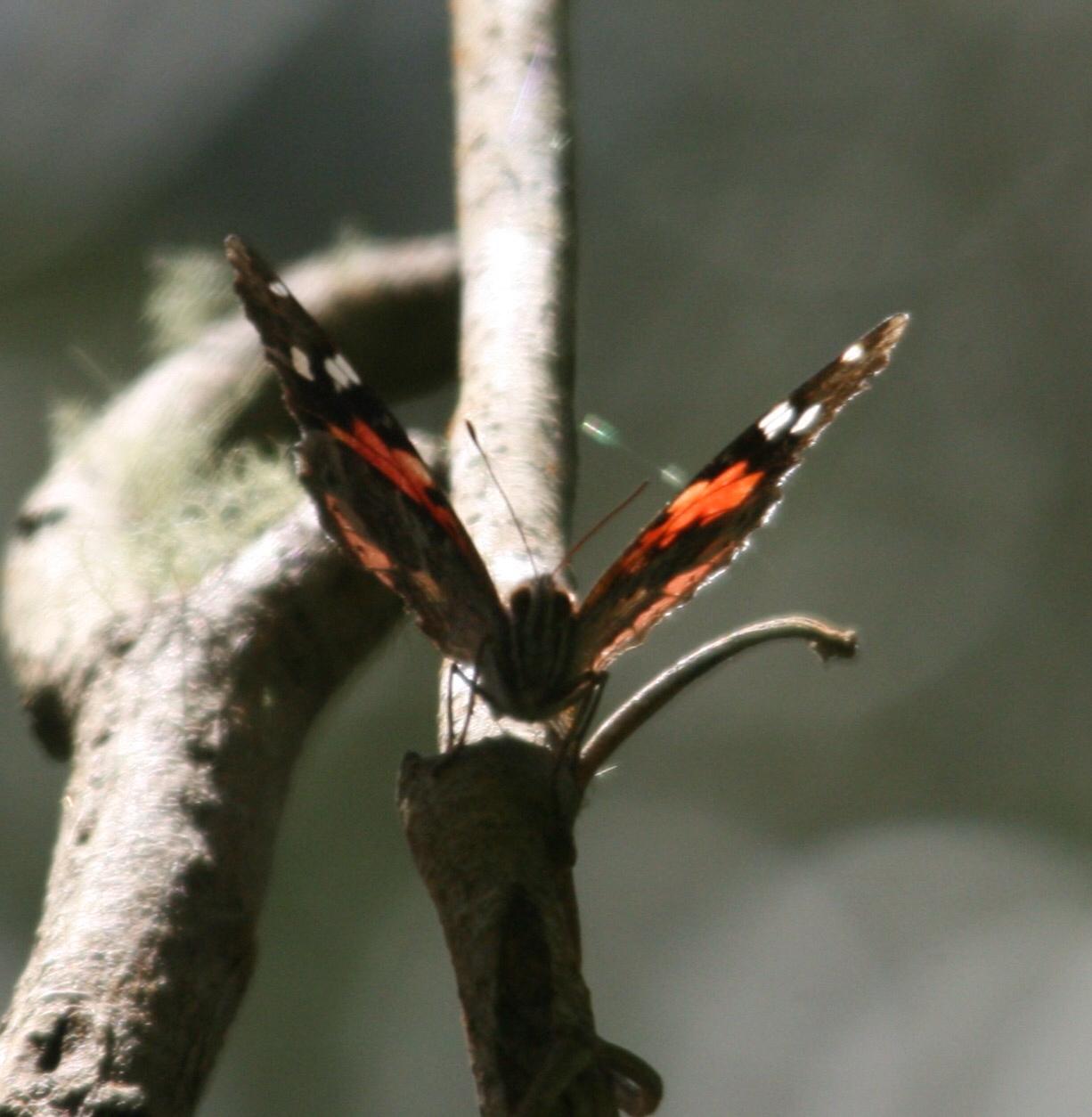 Image of Kamehameha butterfly