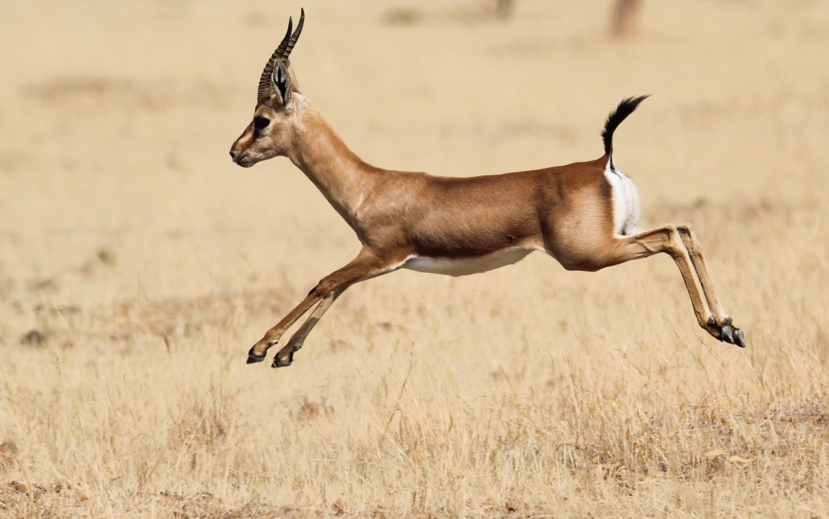 Image of Indian gazelle