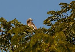 Image of Whyte's Barbet