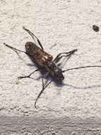 Image of <i>Anthophylax attenuatus</i> (Haldeman 1847)