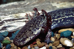 Image of Eastern Lesser Siren