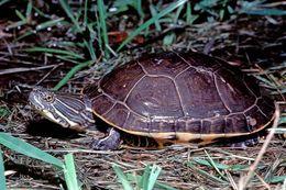 Image of Western Chicken Turtle
