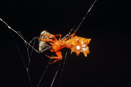 Image of Spined Micrathena