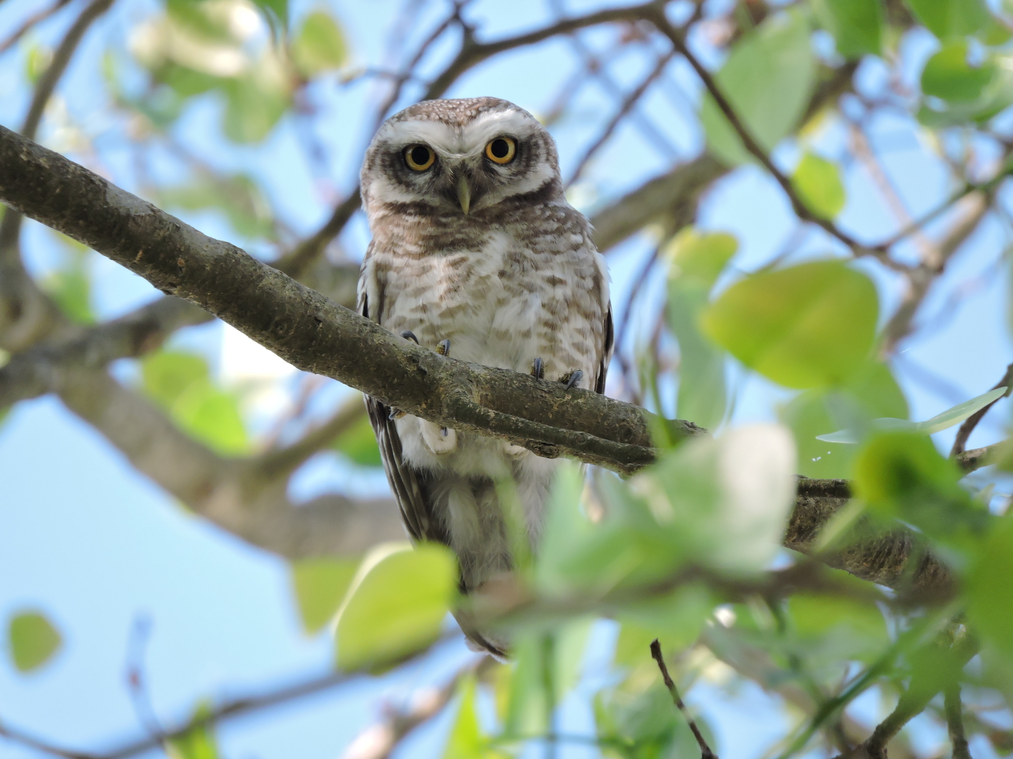 Image of Spotted owlet