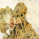 Image of Indian feather duster worm
