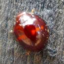 Image of heather ladybird