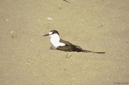 Image of Sooty Tern