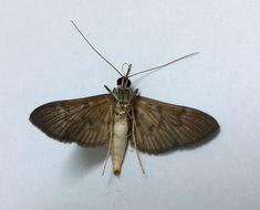 Image of <i>Tatobotys janapalis</i> Walker 1859