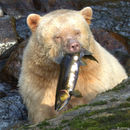 Image of Kermode bear
