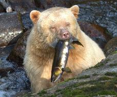 Image of Kermode bear