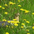 Image of Richardson's ground squirrel
